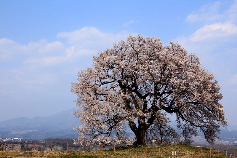 王仁塚(わにづか)の一本桜