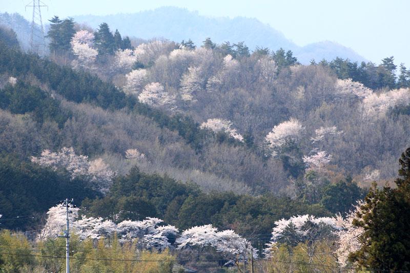甲州の山桜