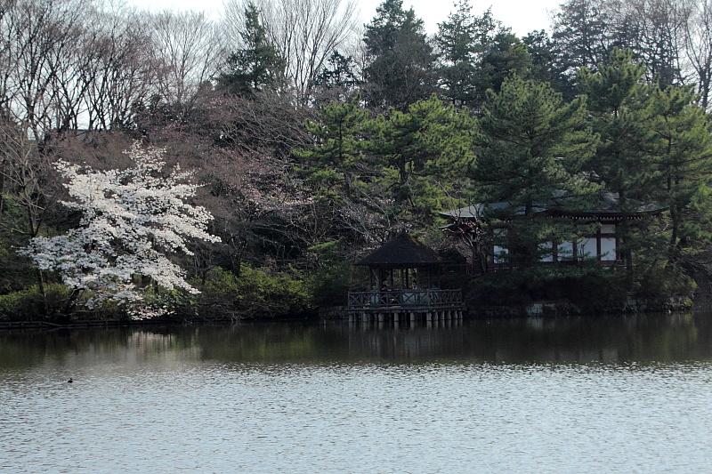 石神井桜(仮)