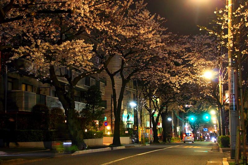 バス通りの夜桜