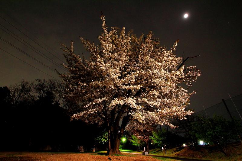 公園の一本桜