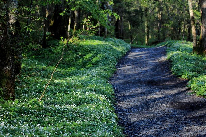 ニリンソウの咲く道