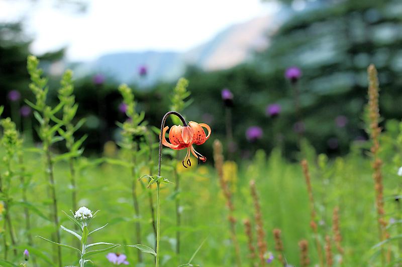 高原のお花畑