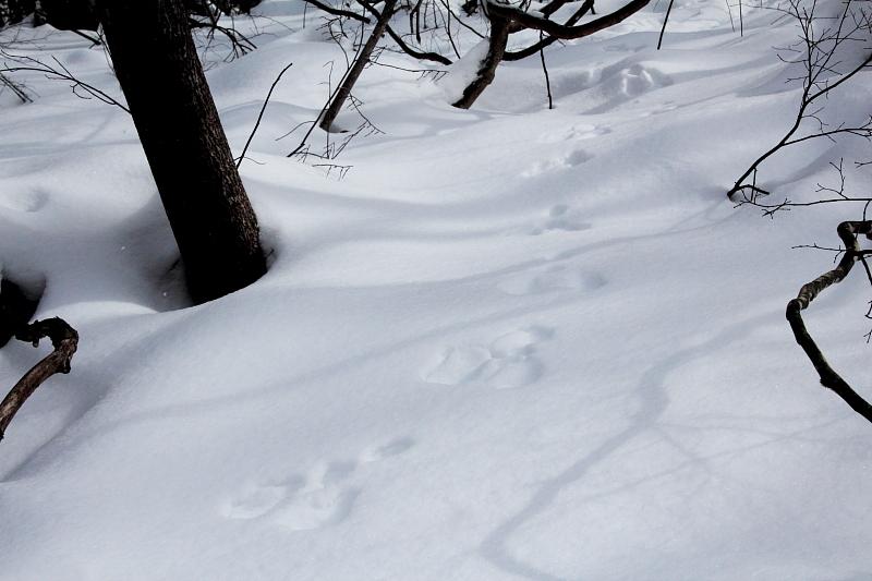 ウサギの足跡。