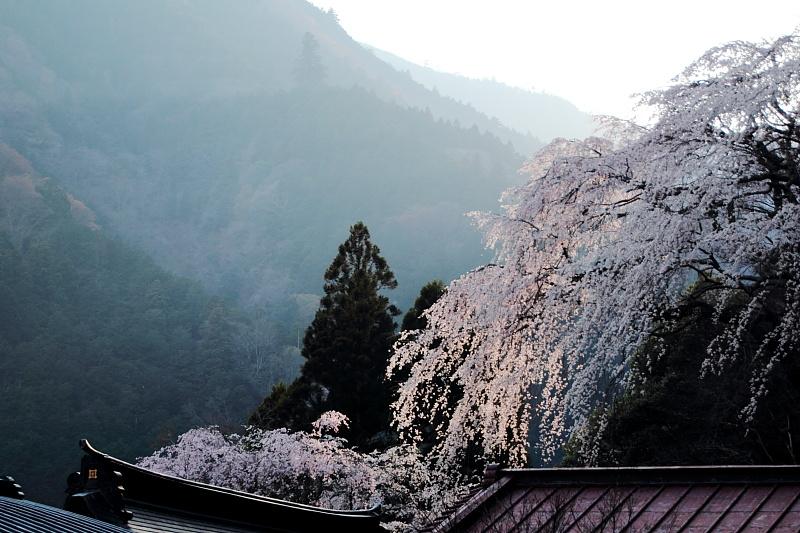 夕染めの桜