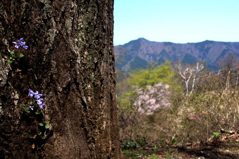 木に生えたタチツボスミレ