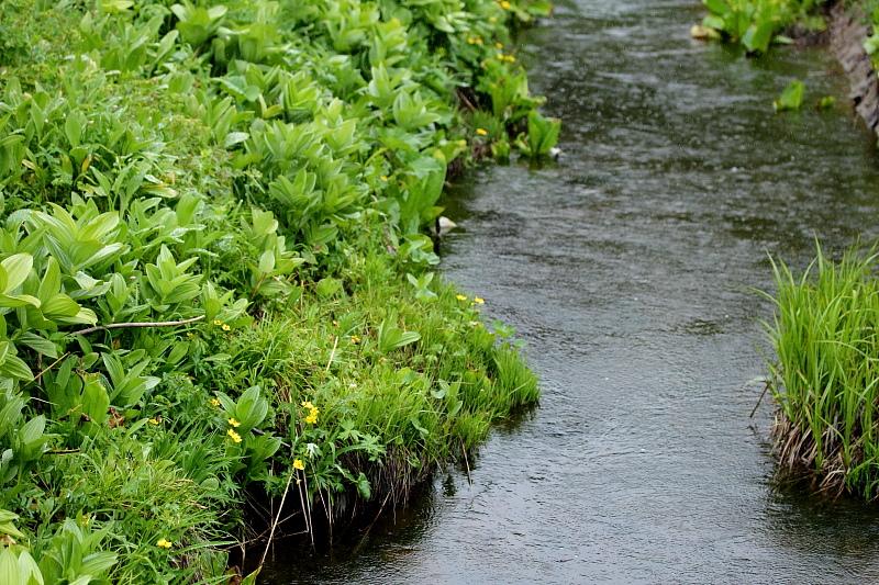 リュウキンカの咲く小川