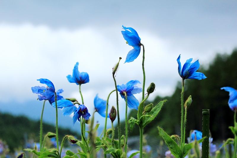 高原の青い風