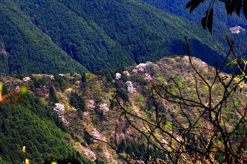 長尾平の山桜