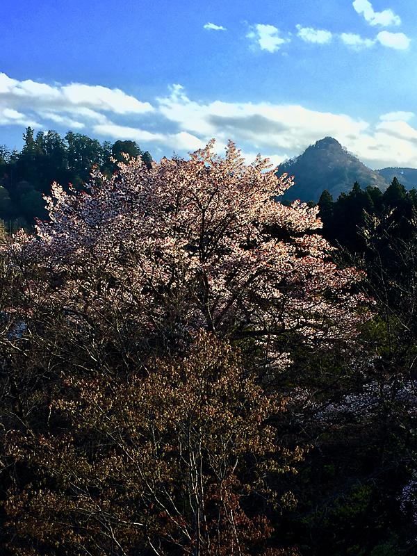大岳山と山桜