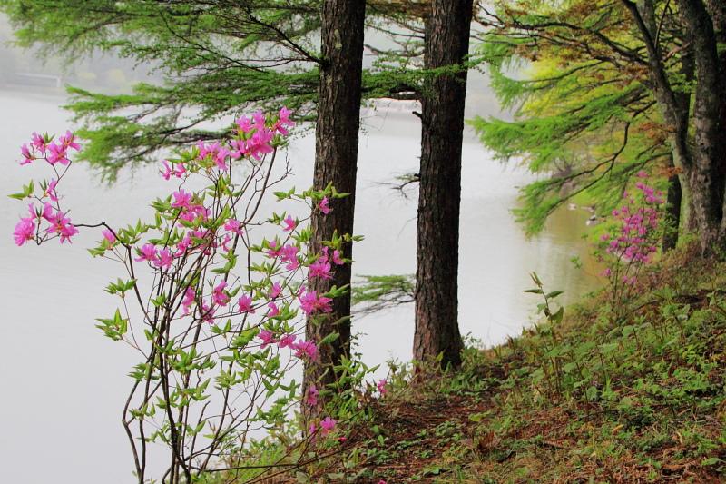 湖畔のツツジ