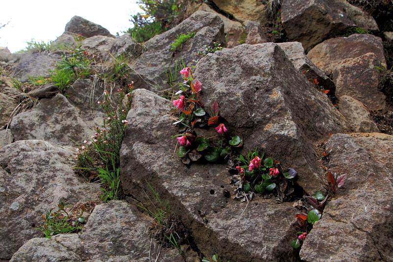岩に張り付くイワカガミ