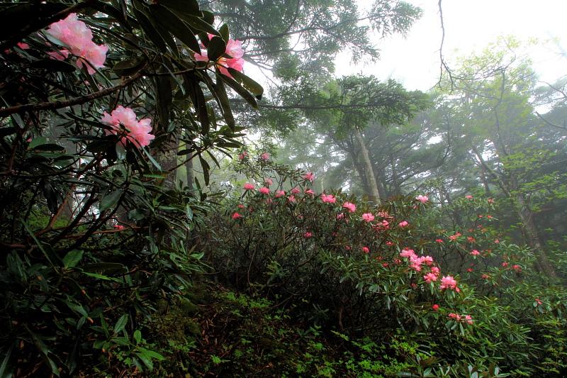 アズマシャクナゲの森