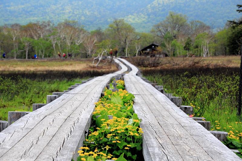 リュウキンカの咲く木道