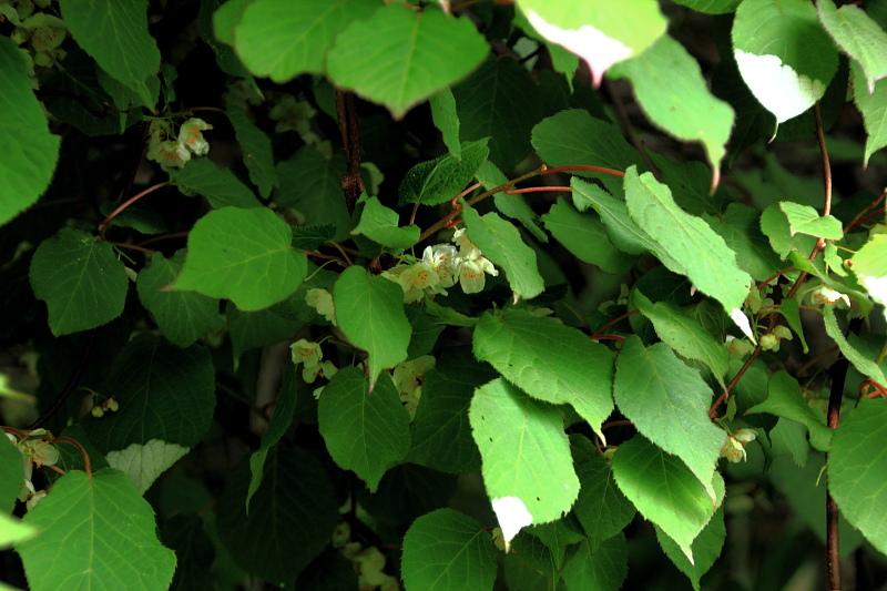 マタタビの花