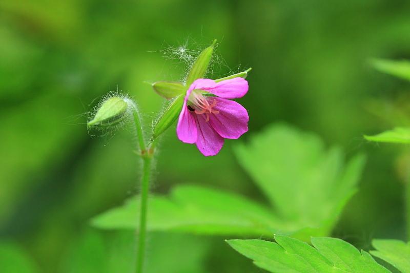 ゲンノショウコ 赤花