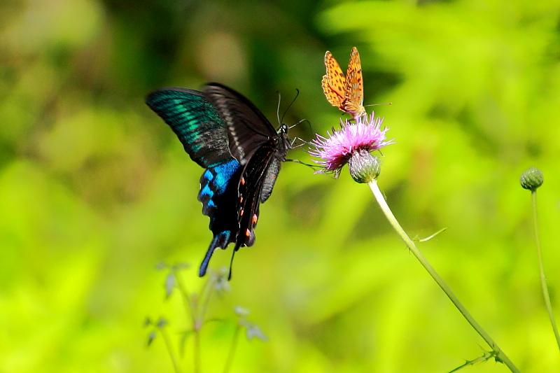 アザミを吸蜜する蝶