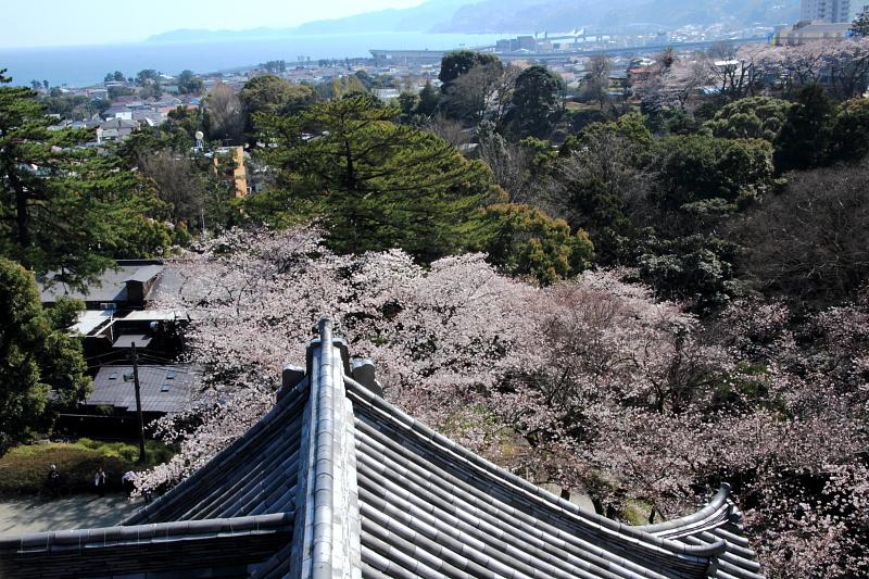 桜と相模灘