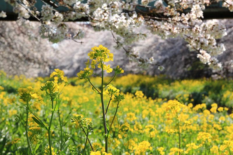 ソメイヨシノと菜の花