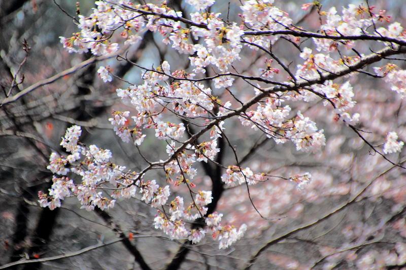 ソメイヨシノ咲く
