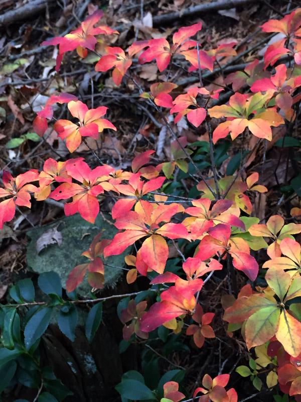 バイカツツジの紅葉