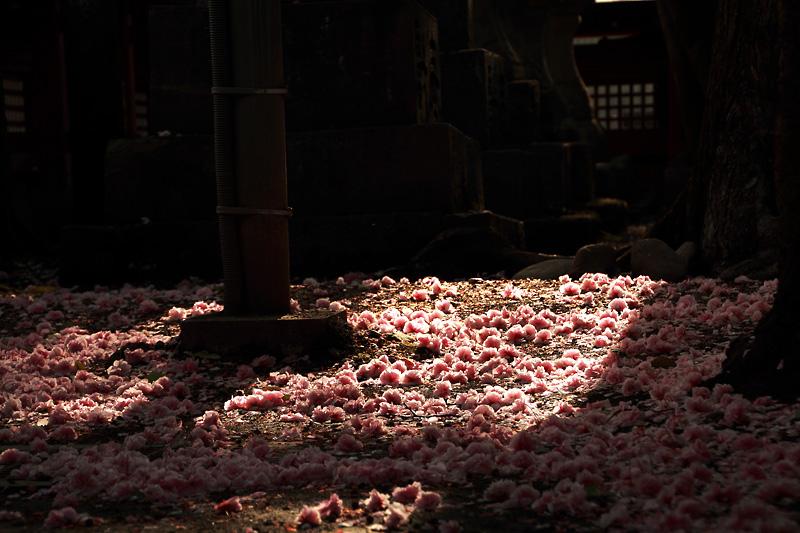 散桜の絨毯