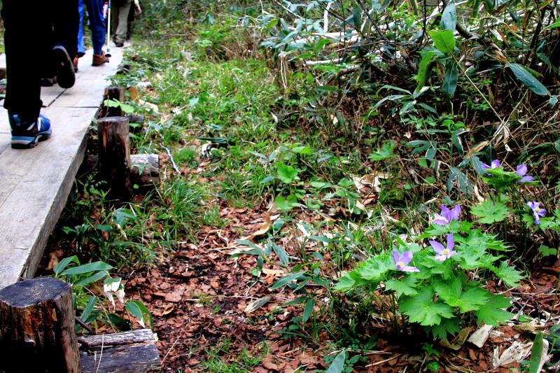 シラネアオイの咲く木道