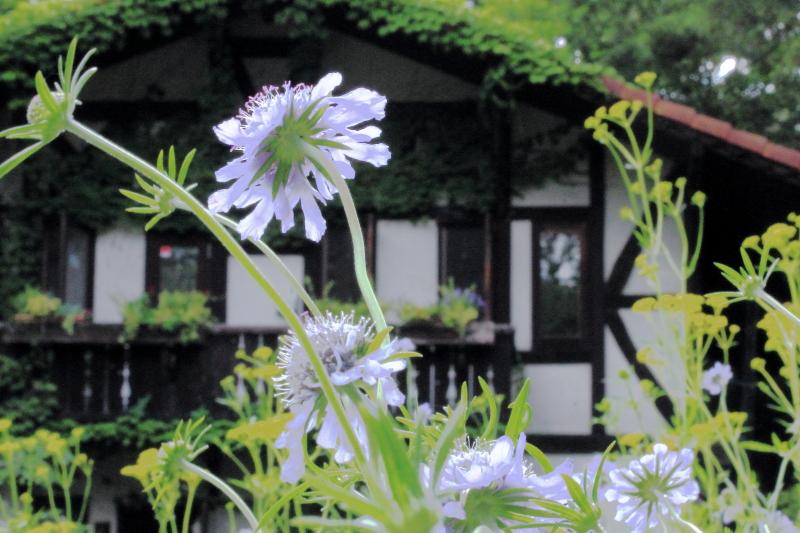 マツムシソウの咲く家