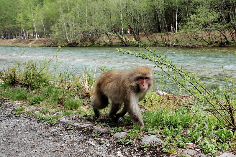 梓川で遭遇した猿