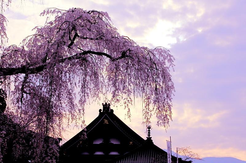 朝焼けの枝垂桜