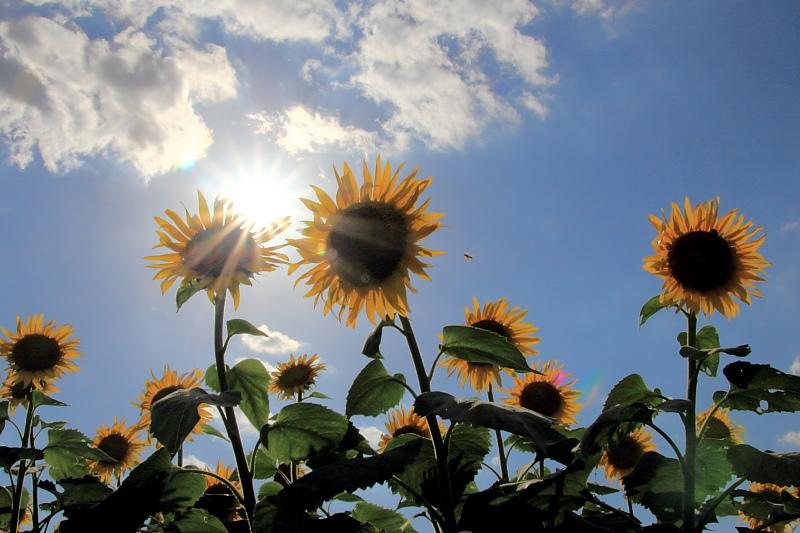 太陽とヒマワリ