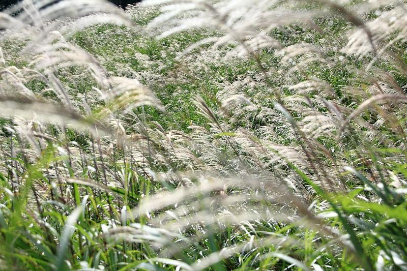 風になびく銀の穂
