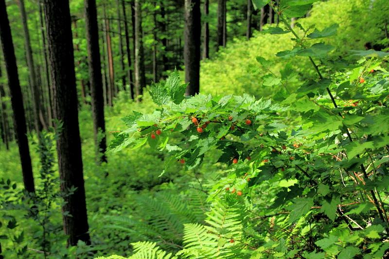 登山道の木苺